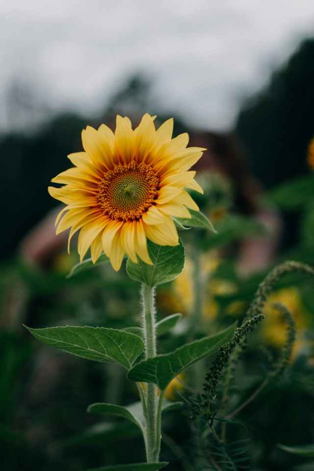 sunflower selective focus photography