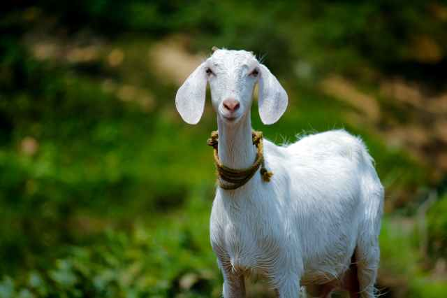 selective focus photography of goat