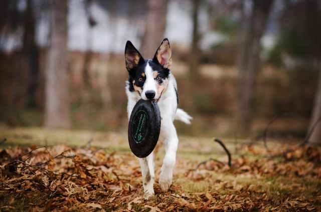 dog biting frisbee disc