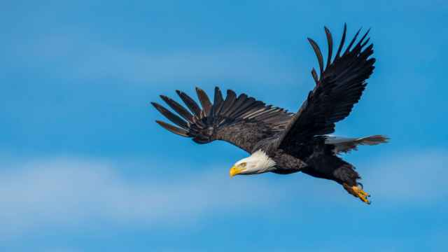 an eagle flying in the sky