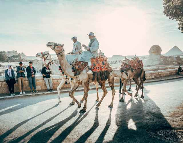 people riding on camels on road