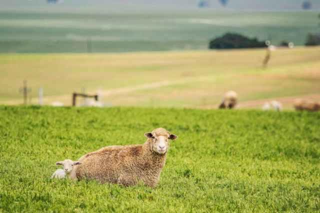 sheep and lamb lying on grass